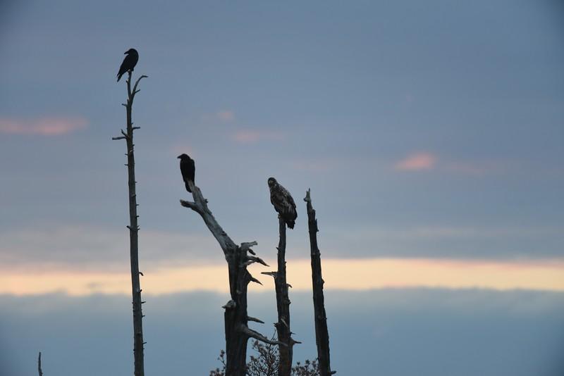 Eagle and Ravens