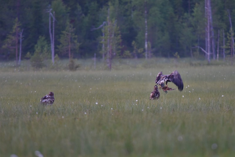 Three Juvenile White Tailed Eagles
