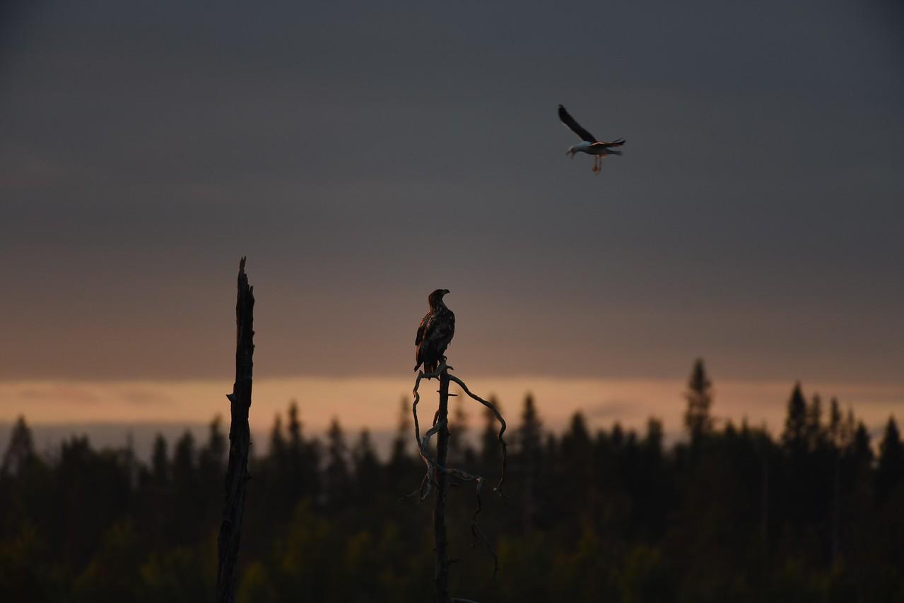 Mobbing the  Eagle