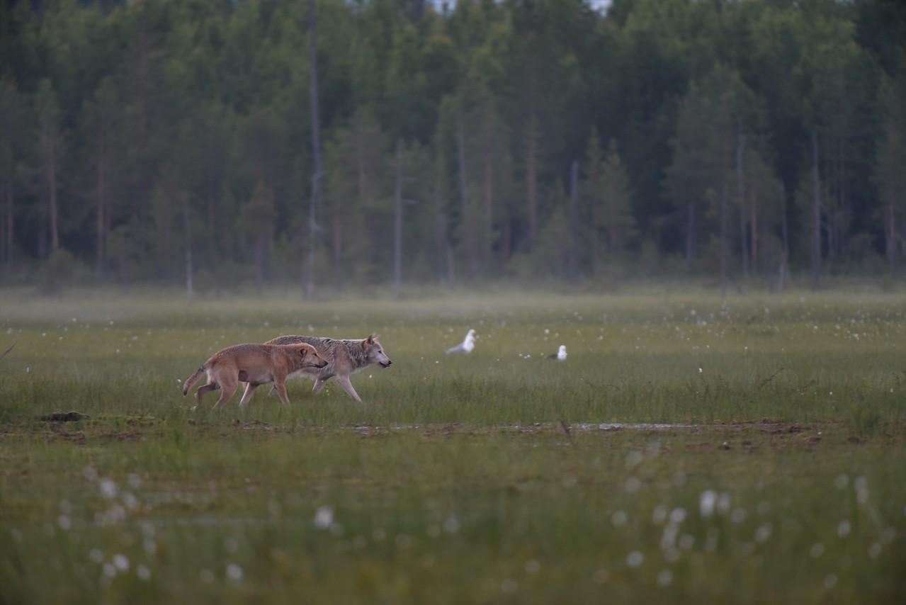 Wolf PairIV