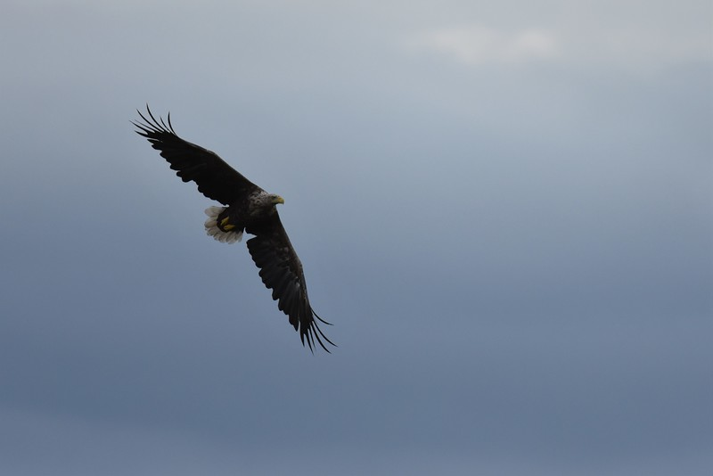 White Tailed Eagle - Power