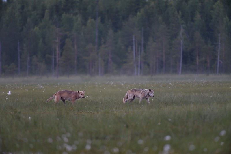 Wolf Pair II