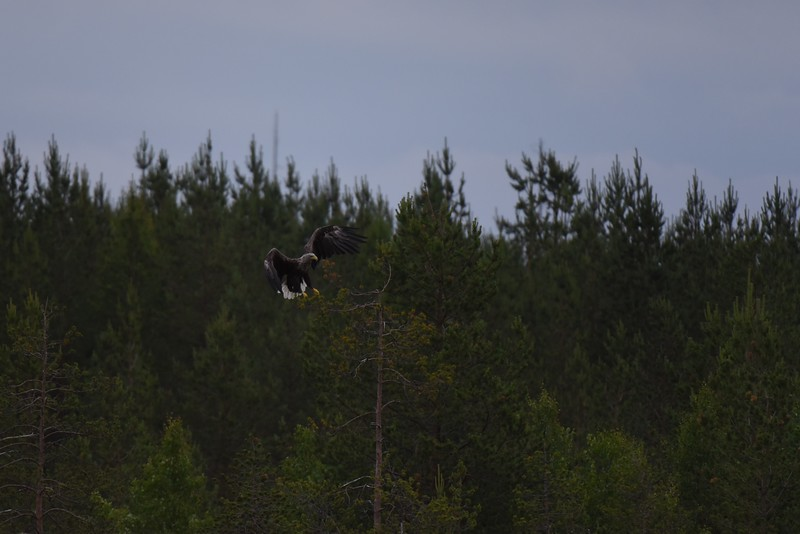 White Tailed Eagle landing