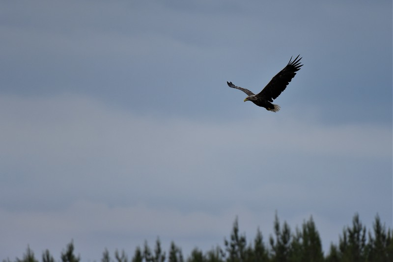 White Tailed Eagle fly past