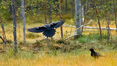 Raven, Kuhmo, Finland