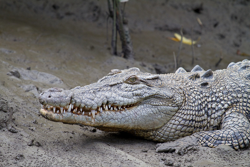 Estuarine (Salt Water) Crocodile Head Shot <i>(Crocodylus porosus)</i>