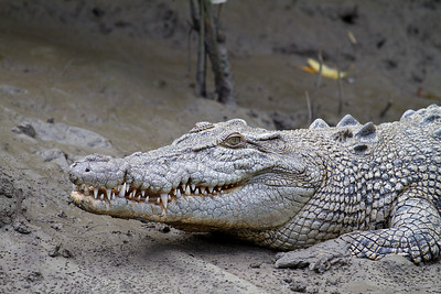 Estuarine (Salt Water) Crocodile Head Shot (Crocodylus porosus)