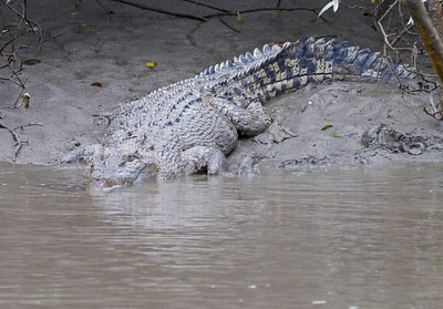 Estuarine (Salt Water) Crocodile (Crocodylus porosus)