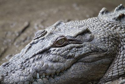 Estuarine (Salt Water) Crocodile Close Up (Crocodylus porosus)