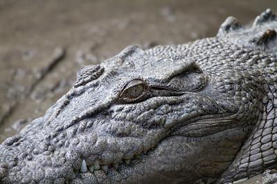 Estuarine (Salt Water) Crocodile Close Up (Crocodylus porosus)
