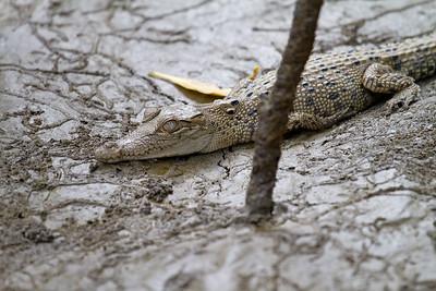 Baby Estuarine (Salt Water) Crocodile (Crocodylus porosus)