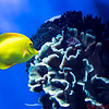 Yellow Tang Coral Reef Fish