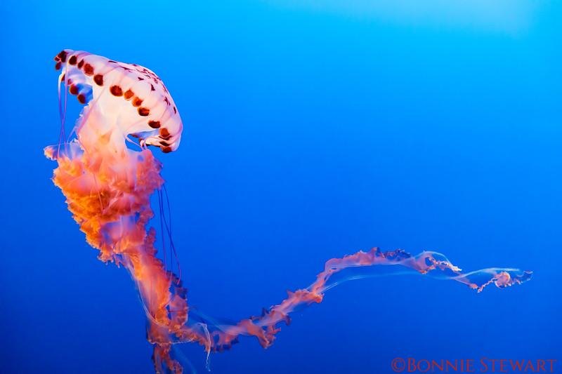 Purple Stripped Jelly Fish