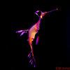 Weedy Sea Dragon Sea Horse