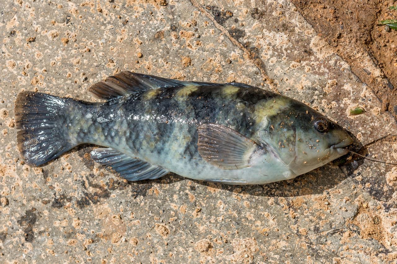 Banded wrasse or banded parrotfish (Notolabrus fucicola). Dunedin, New Zealand.