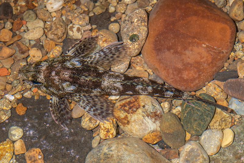 Thornfish (Bovichtus variegatus). Huriawa Peninsula, Karitane, Otago.