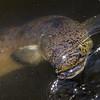 Speckled longfin eel (Anguilla reinhardtii). Roma Street Parkland, Brisbane, Australia.