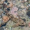 Twister (Bellapiscis medius). Port Craig, Fiordland National Park.