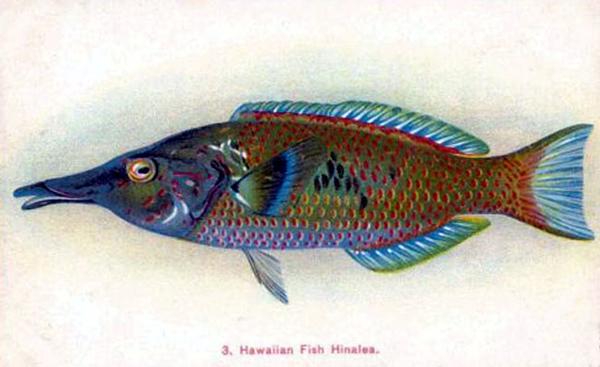 Hawaiian Fish Hinalea, or Wrasse