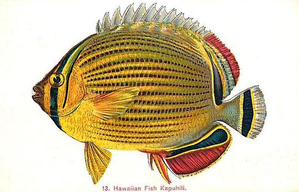 Hawaiian Fish Kapuhili