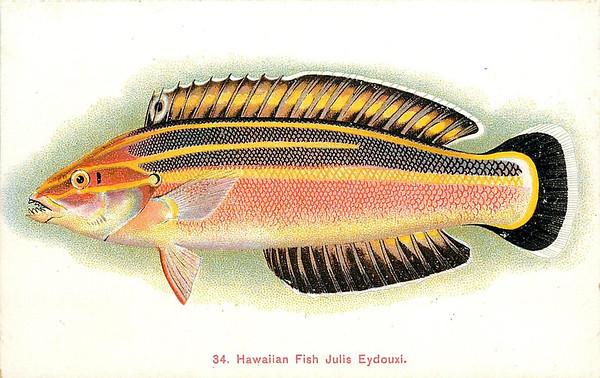 Hawaiian Fish Julia Eydouxi.