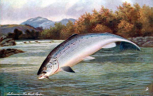 Salmon - the first leap