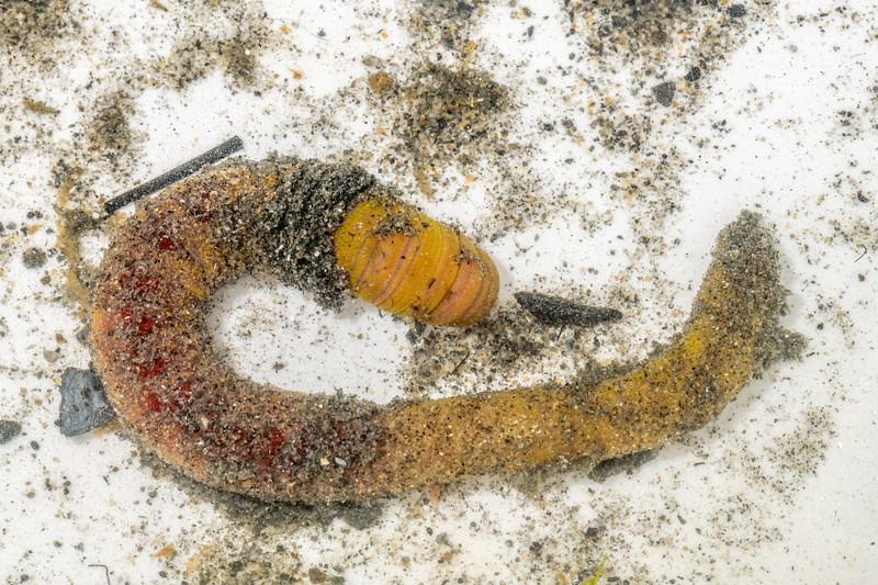 Lugworm (Abarenicola spp.). Waikouaiti River estuary, Karitane, Otago.