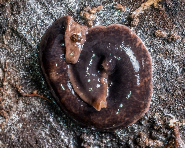 Land planarian (Arthurdendyus spp.). Flora Hut, Kahurangi National Park.