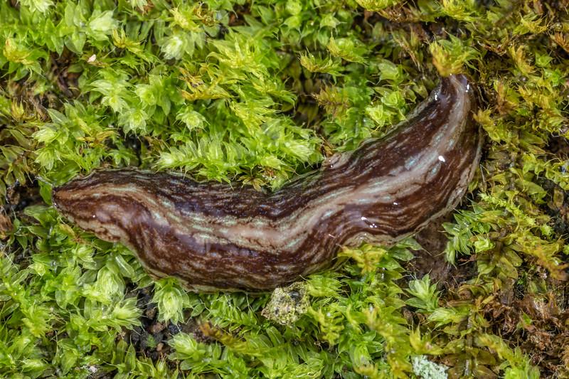 Flatworm (Australopacifica gelatinosa). Brook Waimarama Ecosanctuary, Nelson.