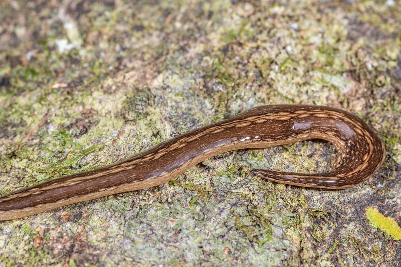 Flatworm (Australopacifica jacksoniana). Brook Waimarama Ecosanctuary, Nelson.