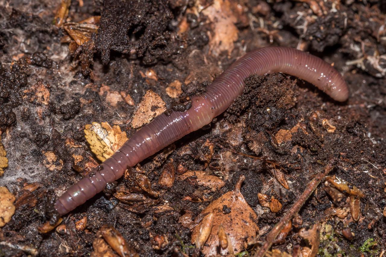 Earthworm (Oligochaeta). Raspberry Flat, Matukituki River West Branch.