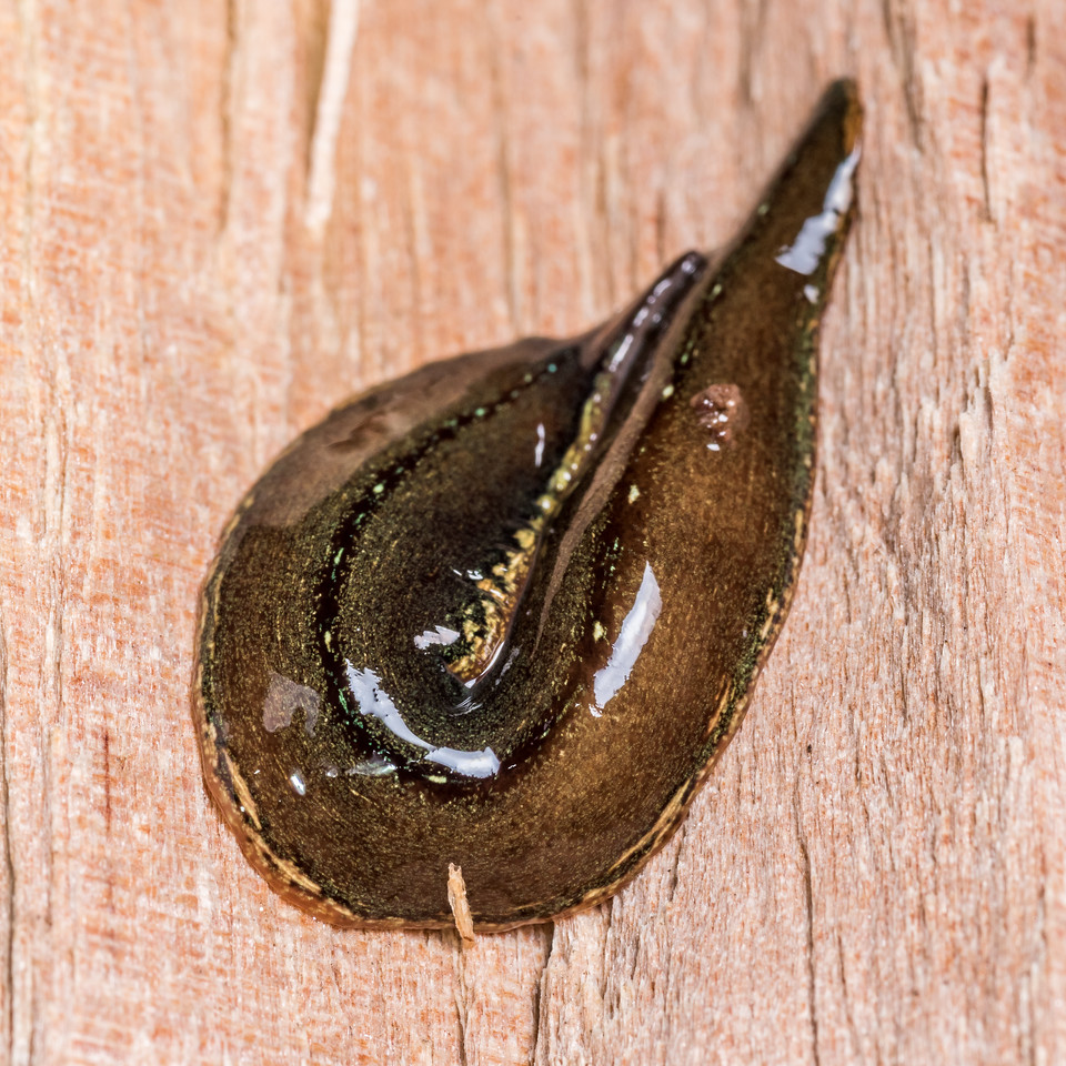 Land planarian (Newzealandia spp.). Junction Flat, Matukituki River East Branch, Mount Aspiring National Park.