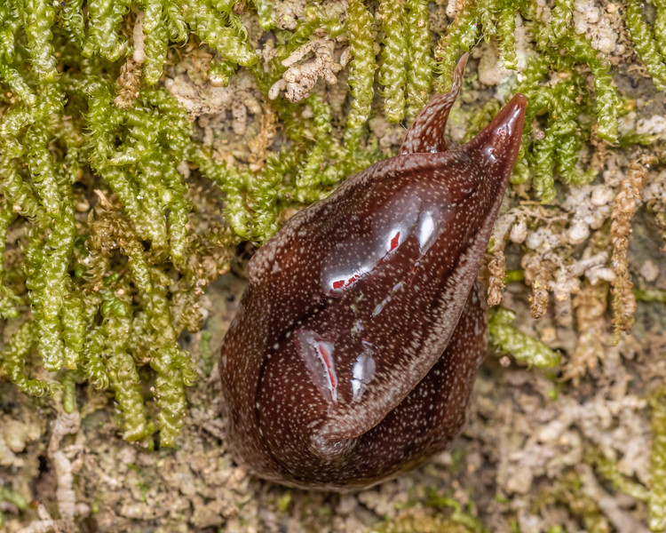 Land planarian (Newzealandia otiraensis). Lake Chalice, Mount Richmond Forest Park.