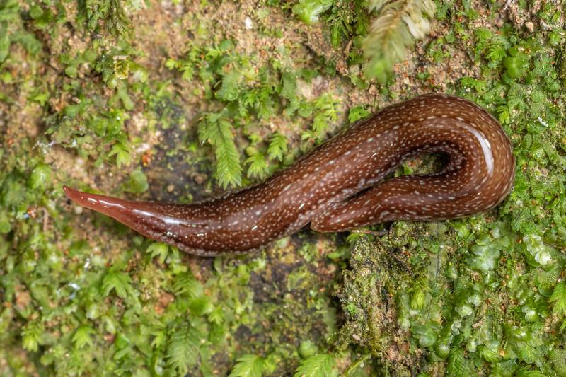 Land planarian (Newzealandia otiraensis). Cullen Point Track, Havelock.