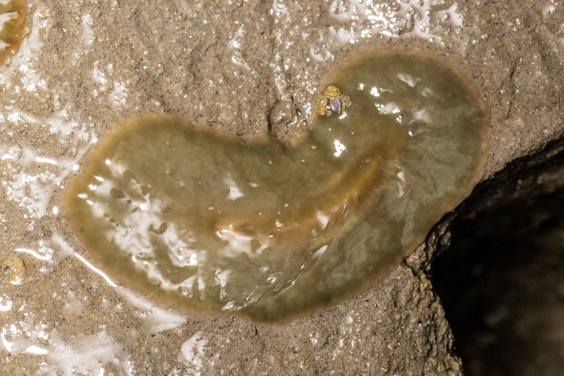 Polyclad flatworm (Notoplana australis<br /> ). Waikouaiti River estuary, Karitane, Otago.