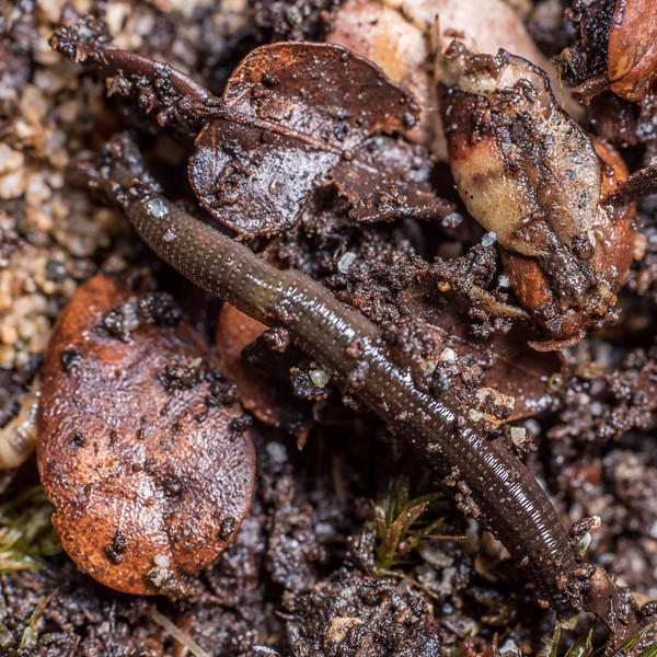 Earthworm (Oligochaeta?). Lake Poteriteri, Fiordland National Park.