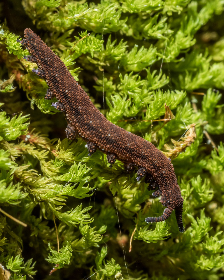 Ooperipatellus nanus, a southern velvet worm endemic to the Takitimu Forest. Princhester Hut, Bog Burn.