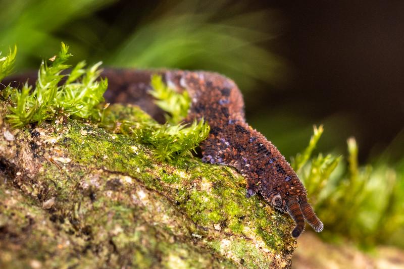 Velvet worm (Ooperipatellus viridimaculatus). Mount Fox Track, Westland.