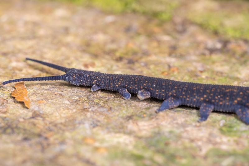 Velvet worm (Peripatoides aurorbis). Mount Stokes, Marlborough Sounds.