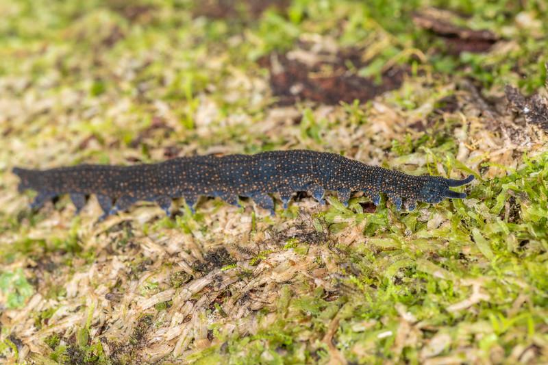 Velvet worm (Peripatoides morgani). Mohi Bush, Havelock North.
