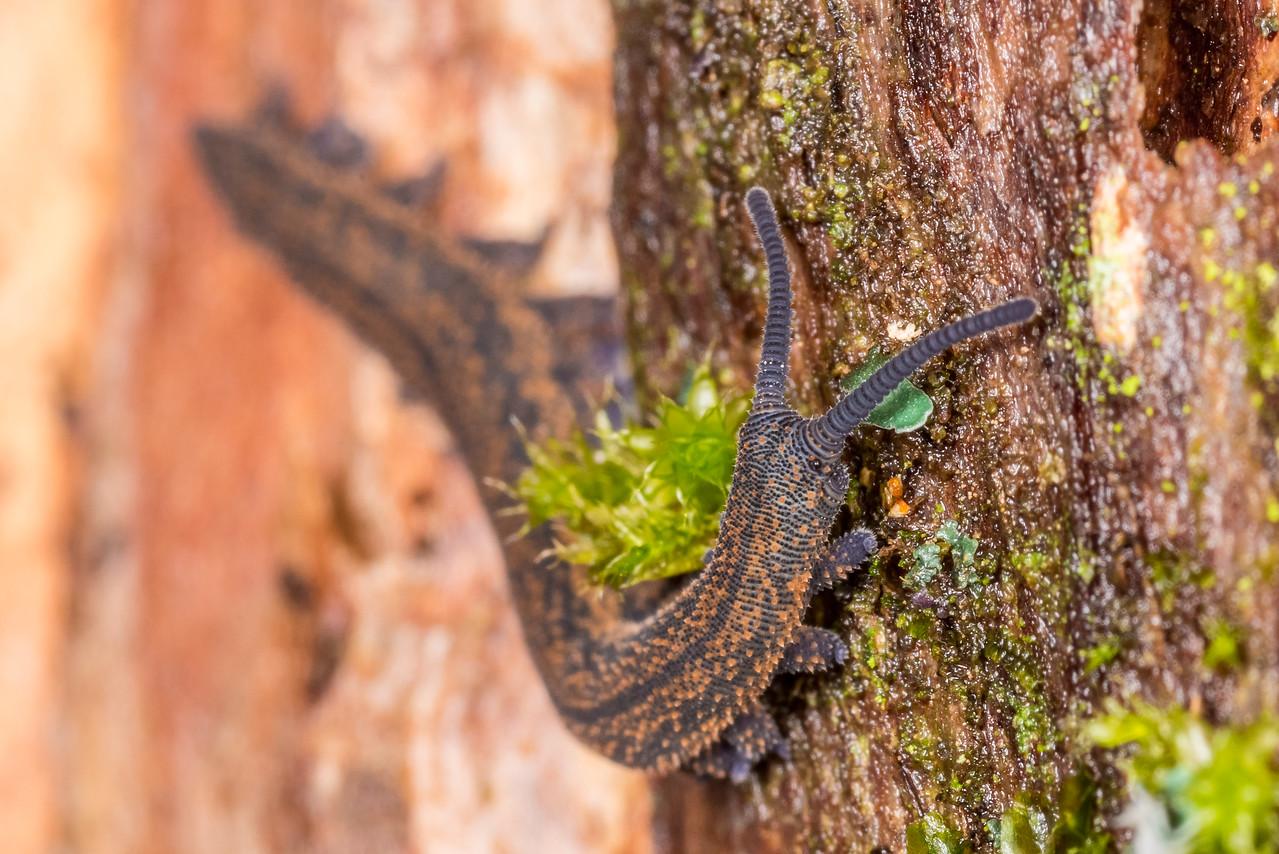 Velvet worm (Peripatoides novaezealandiae). Otaki Forks, Tararua Forest Park.