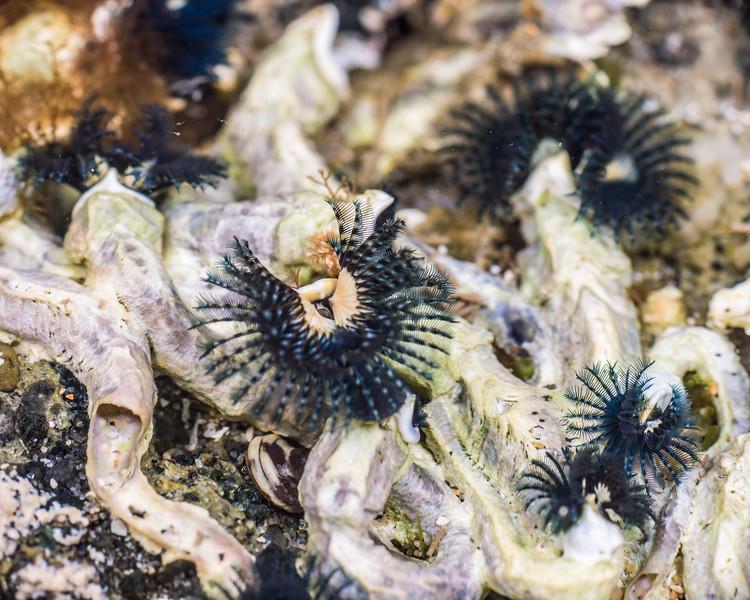 Blue tube worm (Spirobranchus cariniferus). Port Craig, Fiordland National Park.