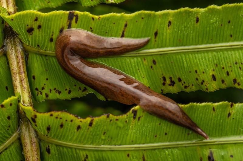 Land planarian (Family Geoplanidae). Mahakirau, Coromandel.