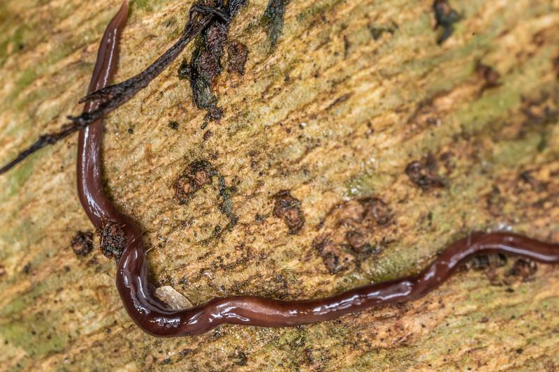 Land planarian (Family Geoplanidae). Hinau Track, Kaikōura.