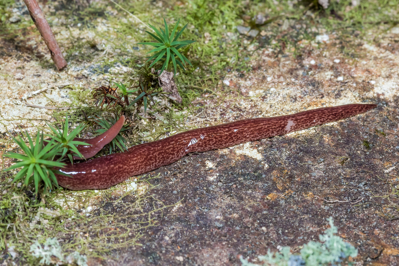 Unidentified land planarian (Family Geoplanidae). Cave Brook, Gouland Downs, Kahurangi National Park.