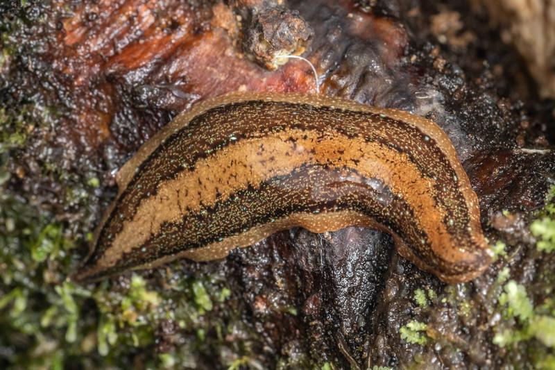 Land planarian (Family Geoplanidae). Sledge track, Palmerston North, Manawatū.