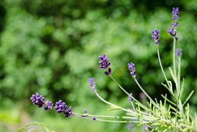 Levandule / Lavender