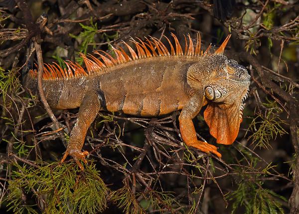 green iguana in breeding colors, January in Wakodahatchee Wetlands, FL