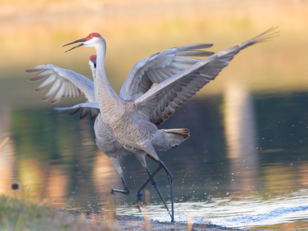 Sandhill Crane comes in for a landing