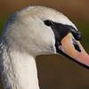 Female mute swan (pen)
